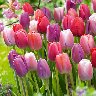 Pride Mix Tulips - 45 dormant bulbs