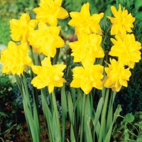 Daffodil Golden Ducat - Bag of 50 Bulbs