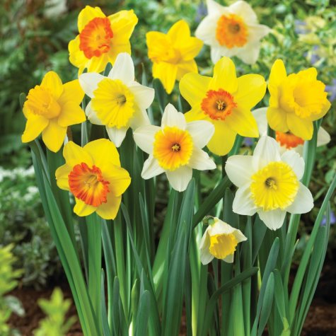 Daffodil Mix - Bag of 50 Bulbs