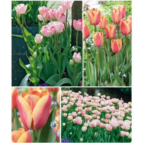 Apricot Foxx and Angelique Tulips - 40 dormant bulbs