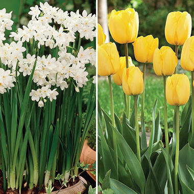 Golden Apeldoorn Tulip and Paperwhite Narcissus - 50 dormant bulbs