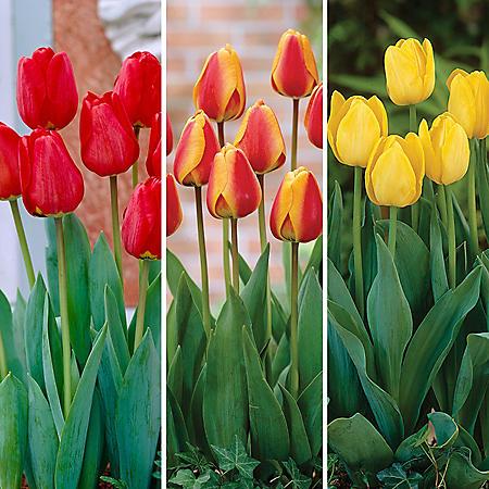 Tulip Spring Blend - 70 Dormant Bulbs