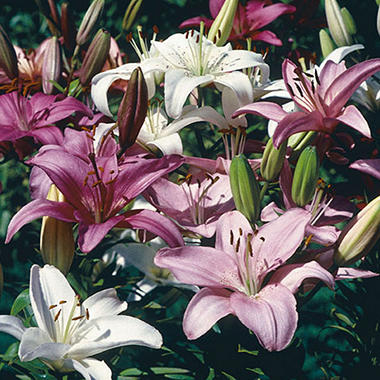 Lily Asiatic Pink Parfait Mix Bulbs