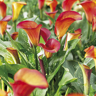 Calla Summer Sunset Bulbs