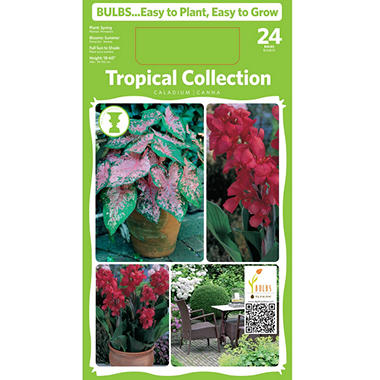 Canna/Caladium - Package of 24 Dormant Bulbs