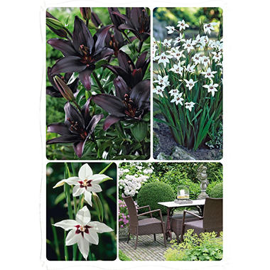 Acidanthera/Lillium - Package of 40 Dormant Bulbs