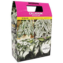 Caladium White Blend, 40 Dormant Bulbs