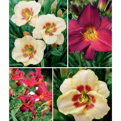 Daylily Super Bloomers