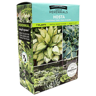 Hosta Christmas Tree/Paul's Glory - Package of 8 Dormant Plants