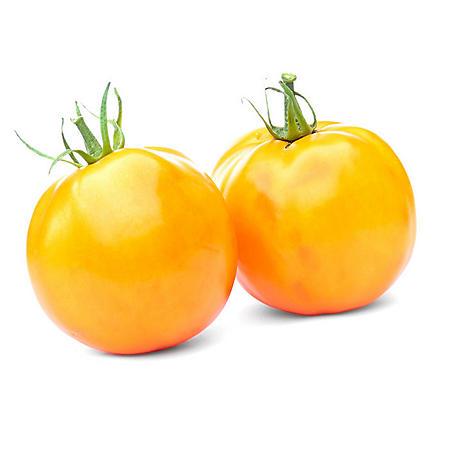 Campari Yellow Tomato (2 lbs.)