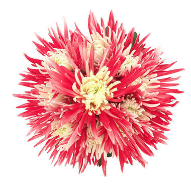 Innie/Outtie Disbuds - Red and White - 60 Stems