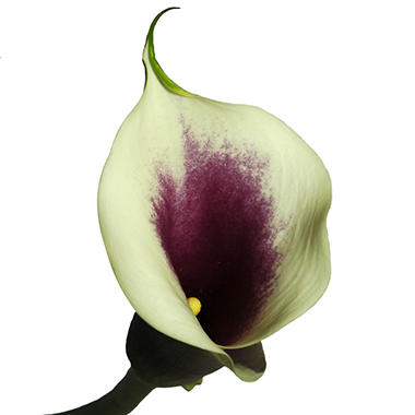 Mini Calla Lily - Picasso - 60 Stems