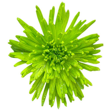 Spider Mums - Painted Glitter Lime Green - 60 Stems