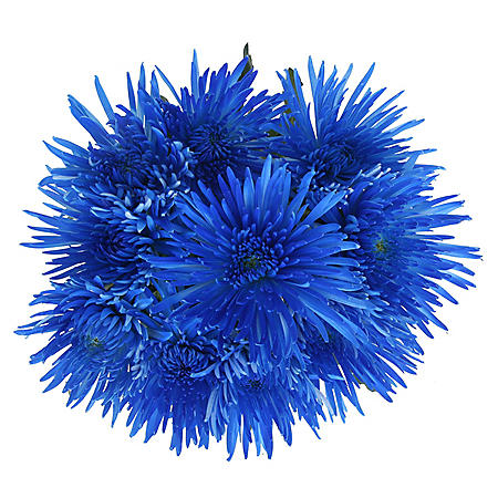 Blue Painted Spider Mums (60 Stems)