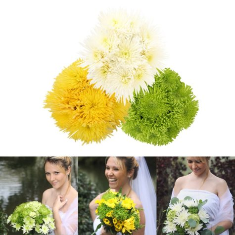 Assorted Natural Spiders Mums (60 Stems)