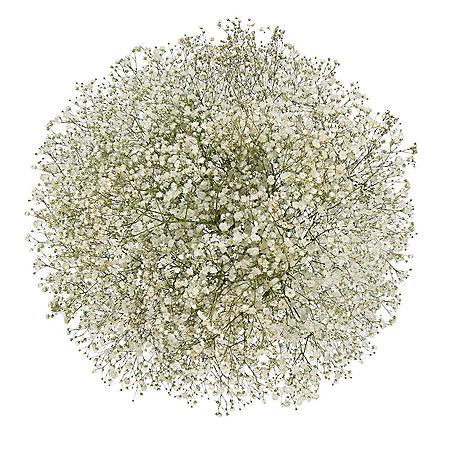Gypsophila, Glitter (60 stems)
