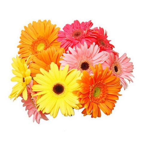 Gerbera Daisies - Assorted Colors - 70 Stems