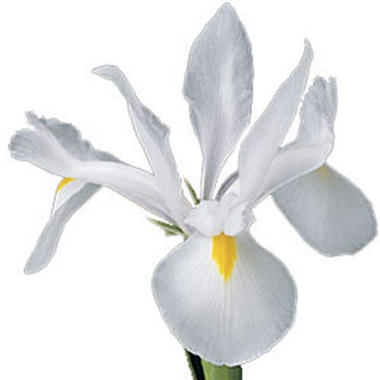 Iris - White - 100 Stems