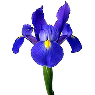 Iris - Blue - 50 Stems