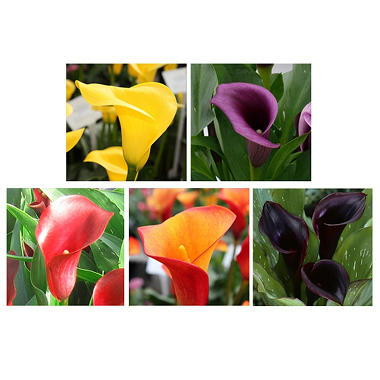 Calla Lily - Fall Pack - 50 Stems