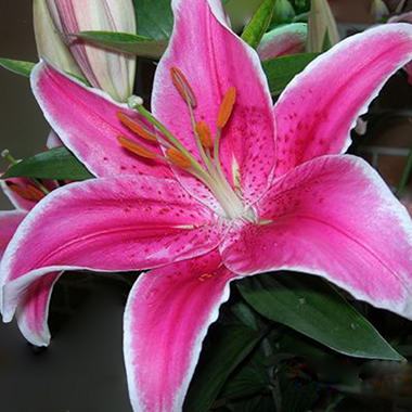 Oriental Lily Pink Brilliant Star  (Choose 40 or 80 Stems)