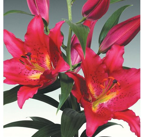 Oriental Lily Pink Tessala   (40 Stems)