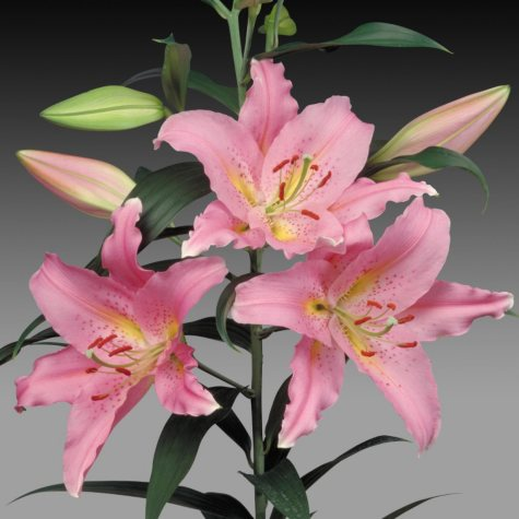 Oriental Lily Pink Lombardia  (80 Stems)