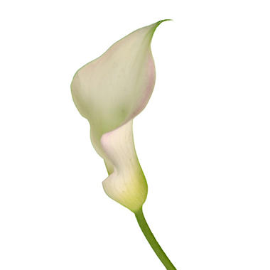 Mini Calla Lily, White (140 stems)