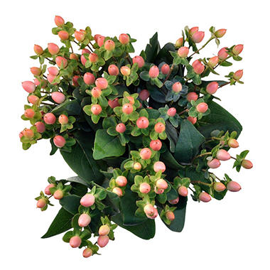 Hypericum - Peach - 150 Stems
