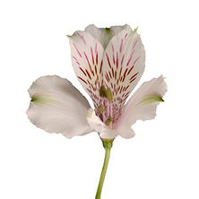 Alstroemeria - White - 50 Stems