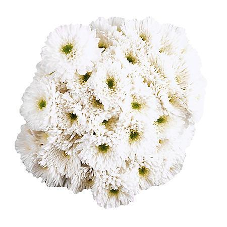 Poms, White (45 stems)