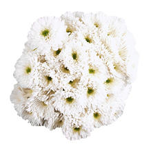 Poms -  White  - 45 Stems