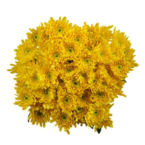 Poms, Yellow Cushion (50 stems)