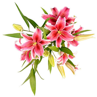 Sorbonne Oriental Lily - Medium Pink (25 Stems)
