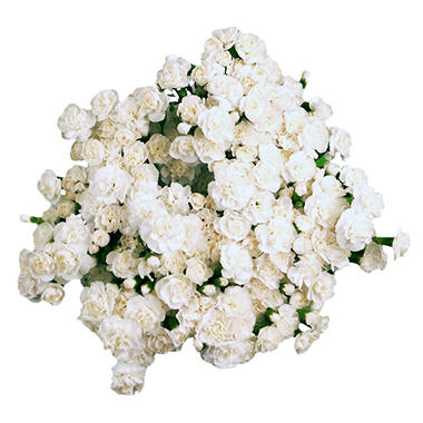 Mini Carnations, White (100 stems)