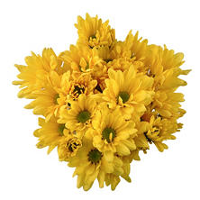 Poms, Yellow Daisy (50 stems)