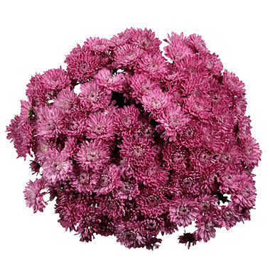 Poms, Lavender Cushion (50 stems)