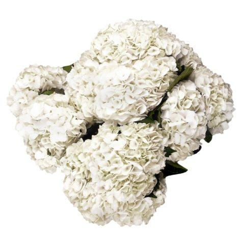 Hydrangea, White (12 stems)