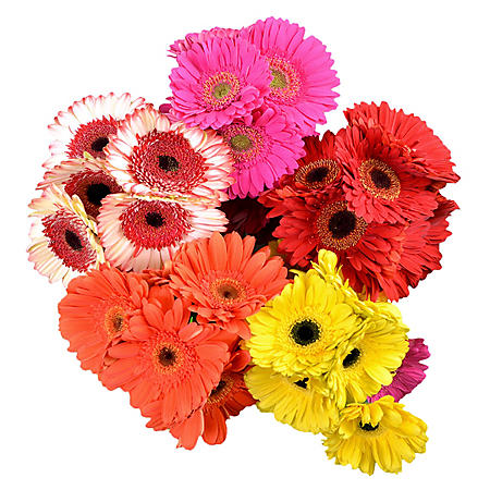 Gerbera Daisies, Assorted Bright Colors (50 stems)