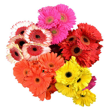 Gerbera Daisies, Assorted Bright Colors (50 stems)