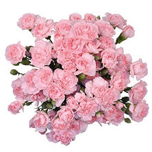 Mini Carnations, Pink (100 stems)