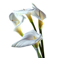 Large Calla Lily, White (25 stems)