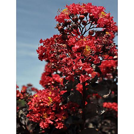 Crimson Red Black Diamond Crape Myrtle