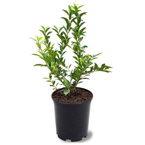 Tifblue Blueberry Plant