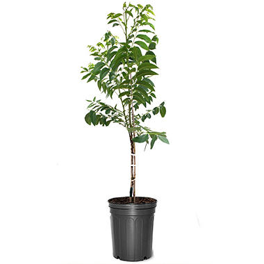Pawnee Pecan Tree, #5 Pot