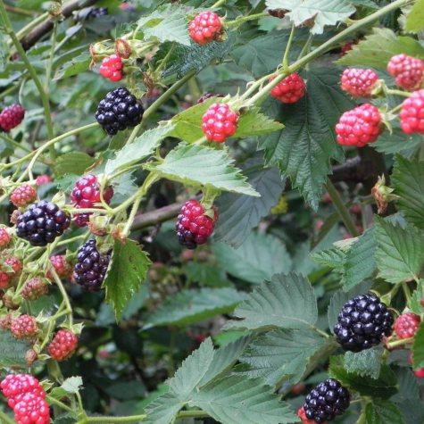 Arapaho Blackberry Bush, 1 lb. Pot