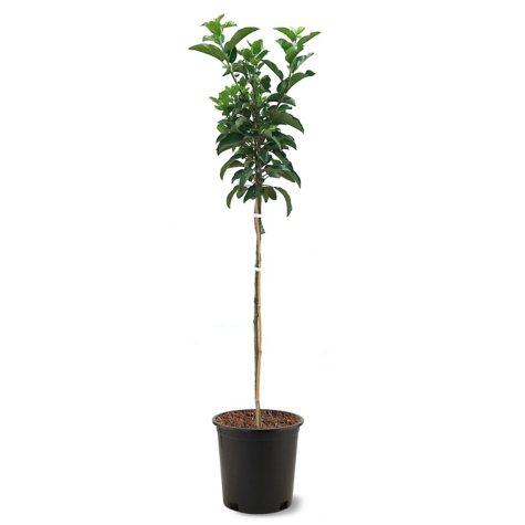Ein Shemer Apple Tree #5 Pot