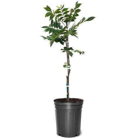 Stuart Pecan Tree #5 Pot