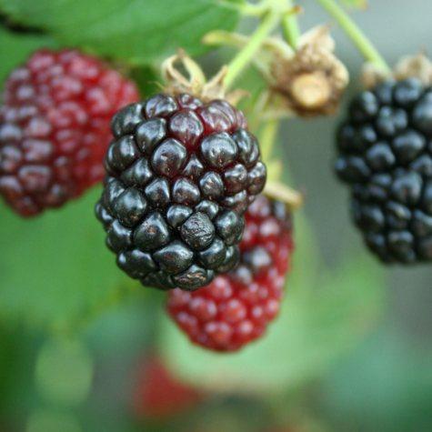 Apache Blackberry Bush, 1 lb. Pot