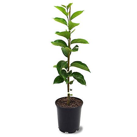 Fuyugaki Persimmon Tree